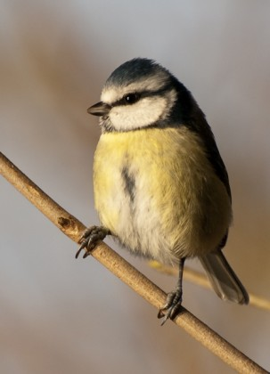 Blue Tit, The Spinnies.