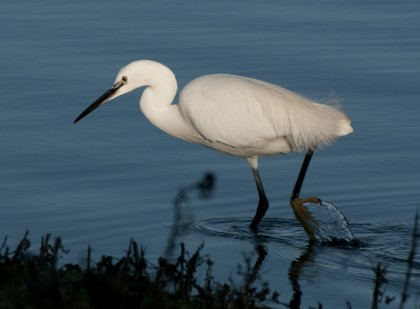 Little Egret, Conwy