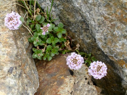 Round leaved Penny-cress