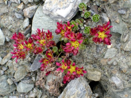 Two flowered Saxifrage